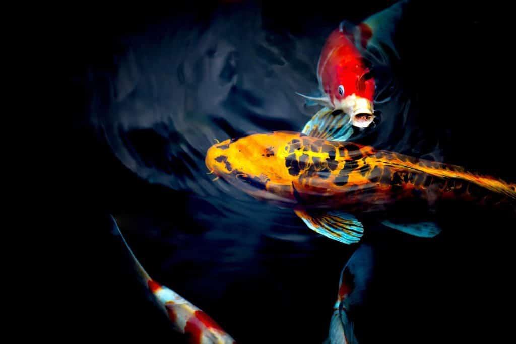 Koi Karpfen Teich
